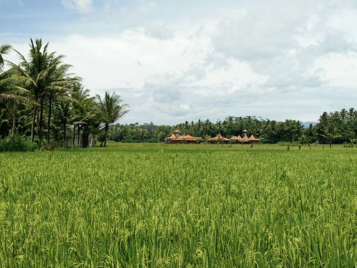 Beautiful ricefield in Barepan Villagetour Tour Villagetour Ricefield Green Sky Barepan Jogja INDONESIA Iloveit EyeEmNewHere Outside