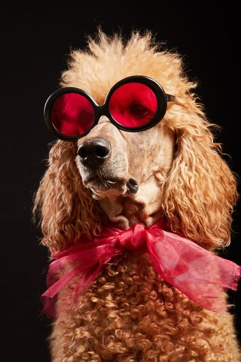 Close-up of dog wearing sunglasses