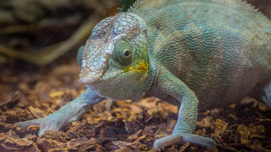 Close-up portrait of chameleon on stones