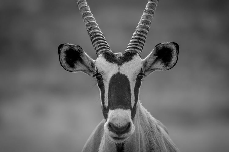 Close-up portrait of oryx