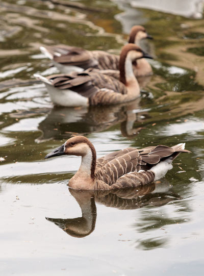 Hawaiian goose called Branta sandvicensis and also Nene near a pond in spring Branta Sandvicensis Farm Hawaiian Goose Pond Animal Themes Animal Wildlife Animals In The Wild Avian Bird Day Goose Lake Nature No People Outdoors Swan Swimming Water Water Bird Waterfront