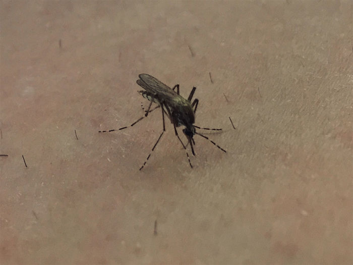 Animal Animal Themes Animal Wildlife Animal Wing Animals In The Wild Blood Blood Thirsty Close-up Drinking Blood High Angle View Insect Mosquito Mosquito Bite Mosquito Biting And Collecting Blood Nature One Animal Outdoors Zoology