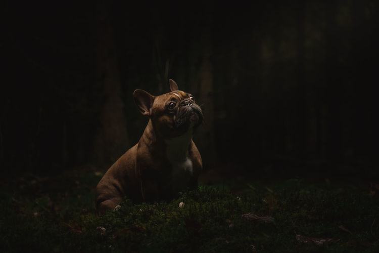 Französische Bulldogge  Hunde Hundefotografie Tierfotografie Dogs Of EyeEm EyeEm Selects Hundeportrait Düsseldorf Dogs Life Dogs #hundefoto Closing Portrait Looking At Camera Natural Parkland Black Background Grass Close-up Animal Eye