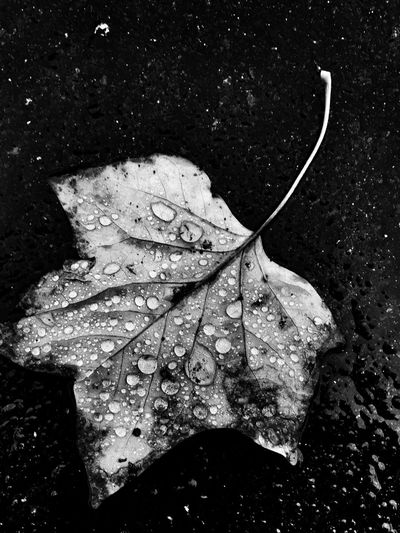 California Rain Leaf Nature Blackandwhite EyeEm Best Shots Fine Art Photography Shootermag California Bw_collection Raindrops Shades Of Winter