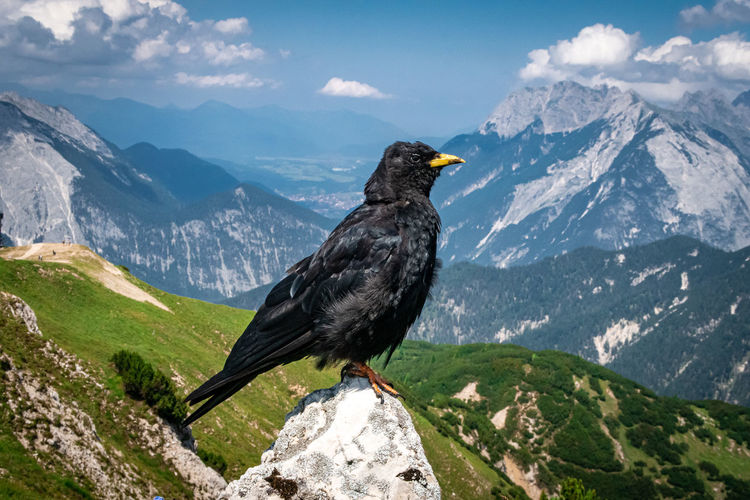 Raven on a rock high in the tiroler mountains