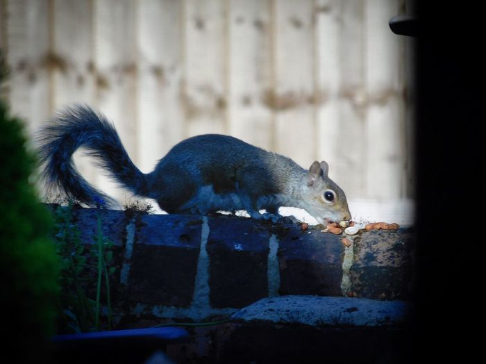 Squirrel eating on stone wall