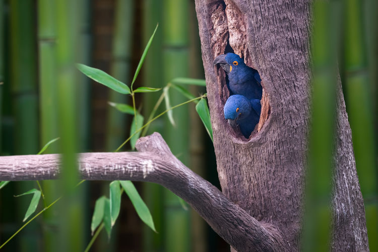 Nesting Bamboo Trees Birds Of Feather Flock Together Hyacinth Blue Macaws Macaw Parrots Tree Birds Pairs For Life Parents Parrots