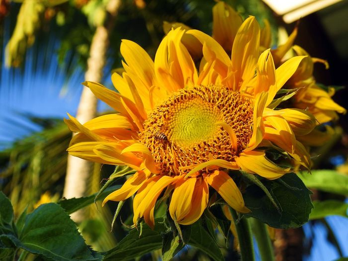 Sunflower Yellow Flower Beauty In Nature Blooming Close-up Day Flower Flower Head Fragility Freshness Growth Leaf Nature Petal Plant Star Flower Star Flowers Sun Flower Sun Flowers Sunflower Yellow Yellow Flowers Yellow Sun Flower Yellow Sunflower Yellow Sunflowers