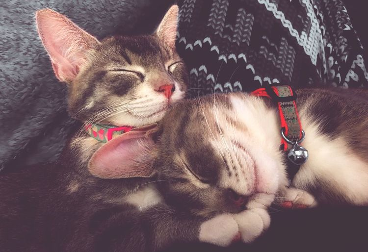 Pets Domestic Animals Domestic Cat Mammal Animal Themes Feline Cat Lying Down Relaxation Kitten Indoors  One Animal Close-up No People Portrait Day Porkchop Applesauce