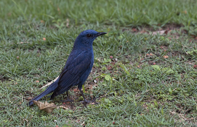 Blue rock thrush male Bird Vertebrate Animal Themes Animal One Animal Animal Wildlife Animals In The Wild Plant Grass Field Land No People Perching Day Nature Black Color Green Color Looking Outdoors Close-up Rock Blue Bird Ipoh,Malaysia Kek Lok Tong Temple