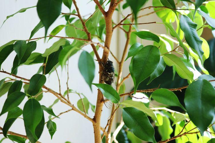 맴맴맴 Ficus Benjamina Cicada Leaf Green Color Growth Animal Themes One Animal No People Animals In The Wild Day Nature Tree Plant Close-up