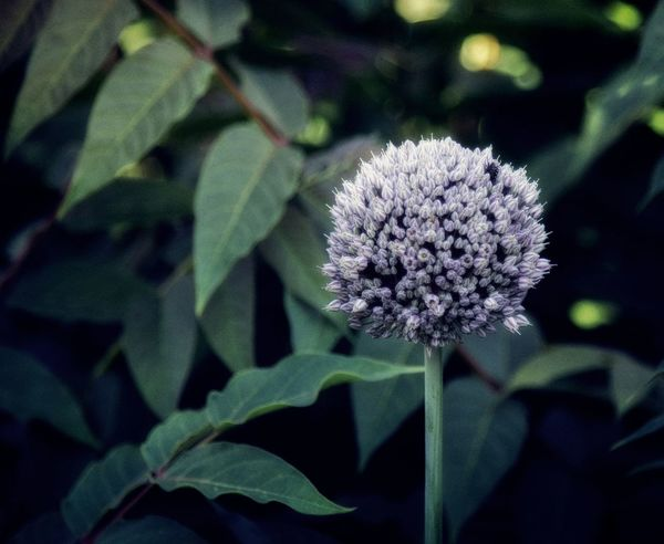 Beauty In Nature Close-up Day Flower Flower Head Flowering Plant Focus On Foreground Fragility Freshness Green Color Growth Inflorescence Leaf Nature No People Outdoors Petal Plant Plant Part Purple Spring Vulnerability
