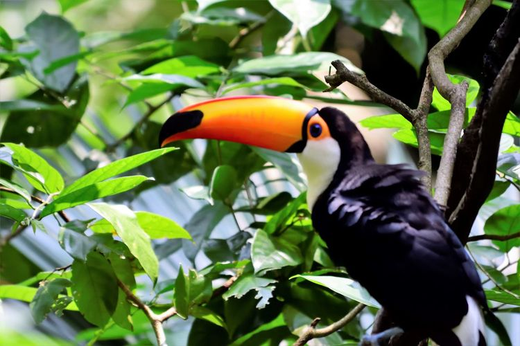 Wildlife and forestry Animal Animal Eye Animal Themes Animal Wildlife Animals In The Wild Beak Bird Black Color Close-up Day Green Color Hornbill Leaf Nature No People One Animal Outdoors Perching Plant Plant Part Tree Vertebrate