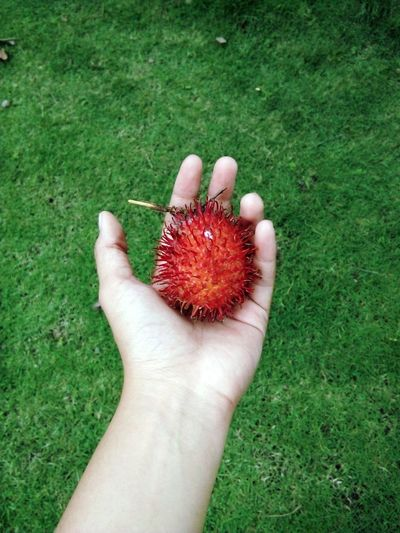 Rambutan Fruit Photography Grass Eyemphotography Red Freshness Green Hand White Photooftheday