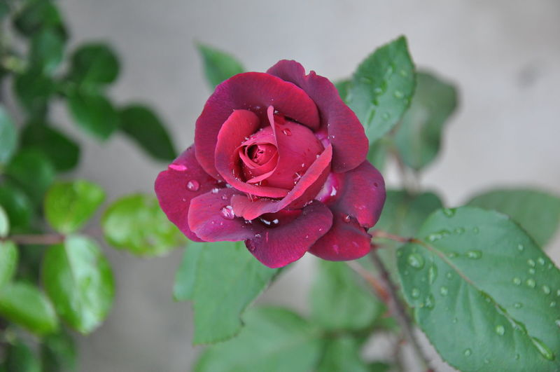 Close-up of wet pink rose in rainy season