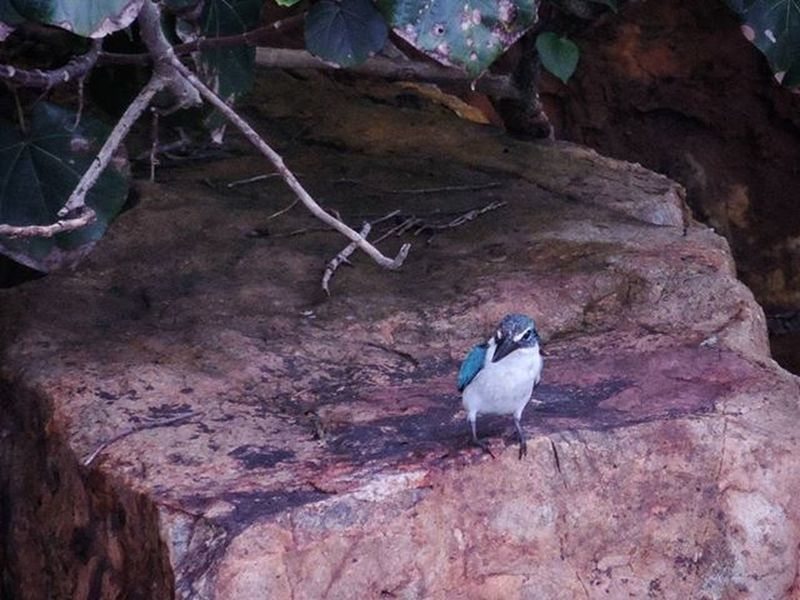 [2016.01.01] White Collared Kingfisher Pulauubin Chekjawa Nparksbuzz Singapore Sg Nature Wildlife Kingfisher