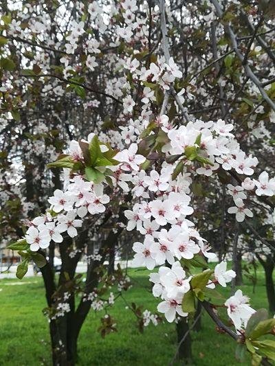 Sakura In Serbia The Purist (no Edit, No Filter) EyeEm Best Shots EyeEmNewHere EyeEm Nature Lover Eye4photography  Flower Head Tree Flower Springtime Petal Blossom White Color Pink Color