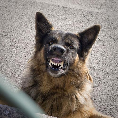 Close-Up Of Stray Dog Snarling