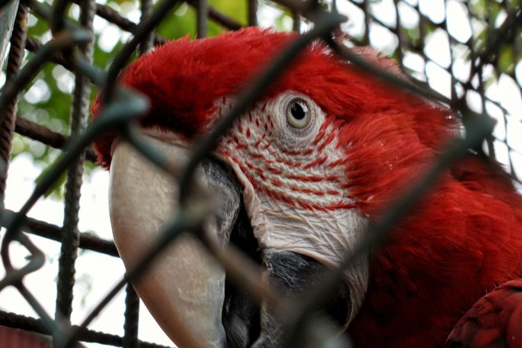 Bird One Animal Cage Red Parrot Scarlet Macaw Close-up Macaw Animal Themes Beak Cockerel No People Multi Colored Rooster Day Cockatoo Nature Outdoors Hornbill