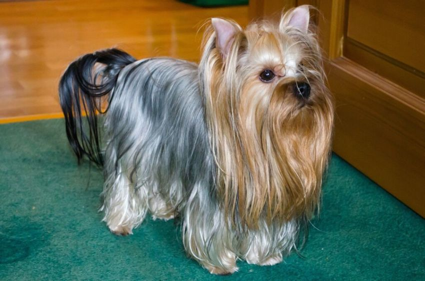 I Love My Dog Ahiles )) Yorkshire Terrier Yorki Terrier Dog