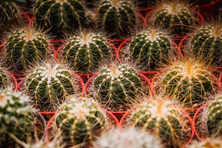 The spherical cactus in the desert Backgrounds Barrel Cactus Beauty In Nature Cactus Close-up Day Full Frame Green Color Growth Natural Pattern Nature No People Outdoors Plant Potted Plant Sharp Sign Spiked Spiky Succulent Plant Thorn Warning Sign