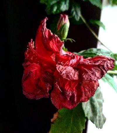 Red Flower Rose - Flower Fragility Petal Flower Head Studio Shot