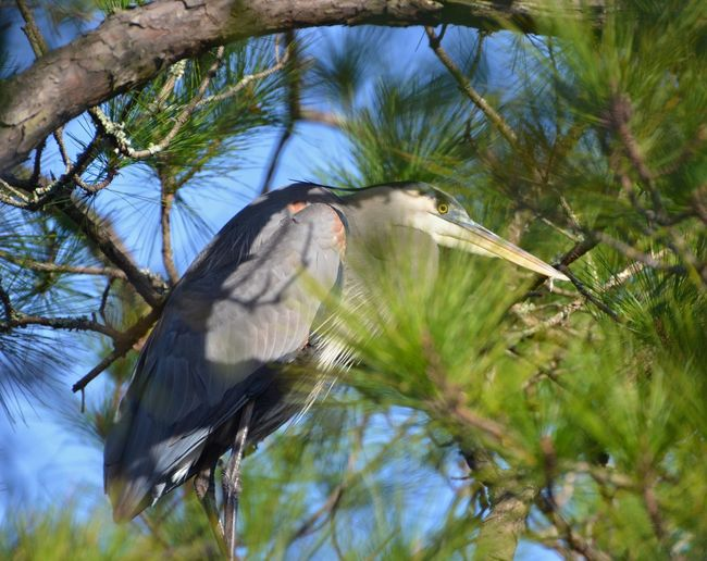 Animals In The Wild Awendaw, South Carolina Beak Beauty In Nature Bird Close-up Day Focus On Foreground Heron Sitting In Pine Tree Just One Bird Nature No People One Animal Outdoors Side View Tropical Climate United States Wildlife