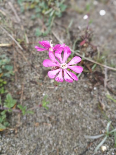 Flower Fragility Petal Nature Beauty In Nature Flower Head Pink Color Blooming Close-up Day Outdoors Leica Huawei P9 Color Photography No People
