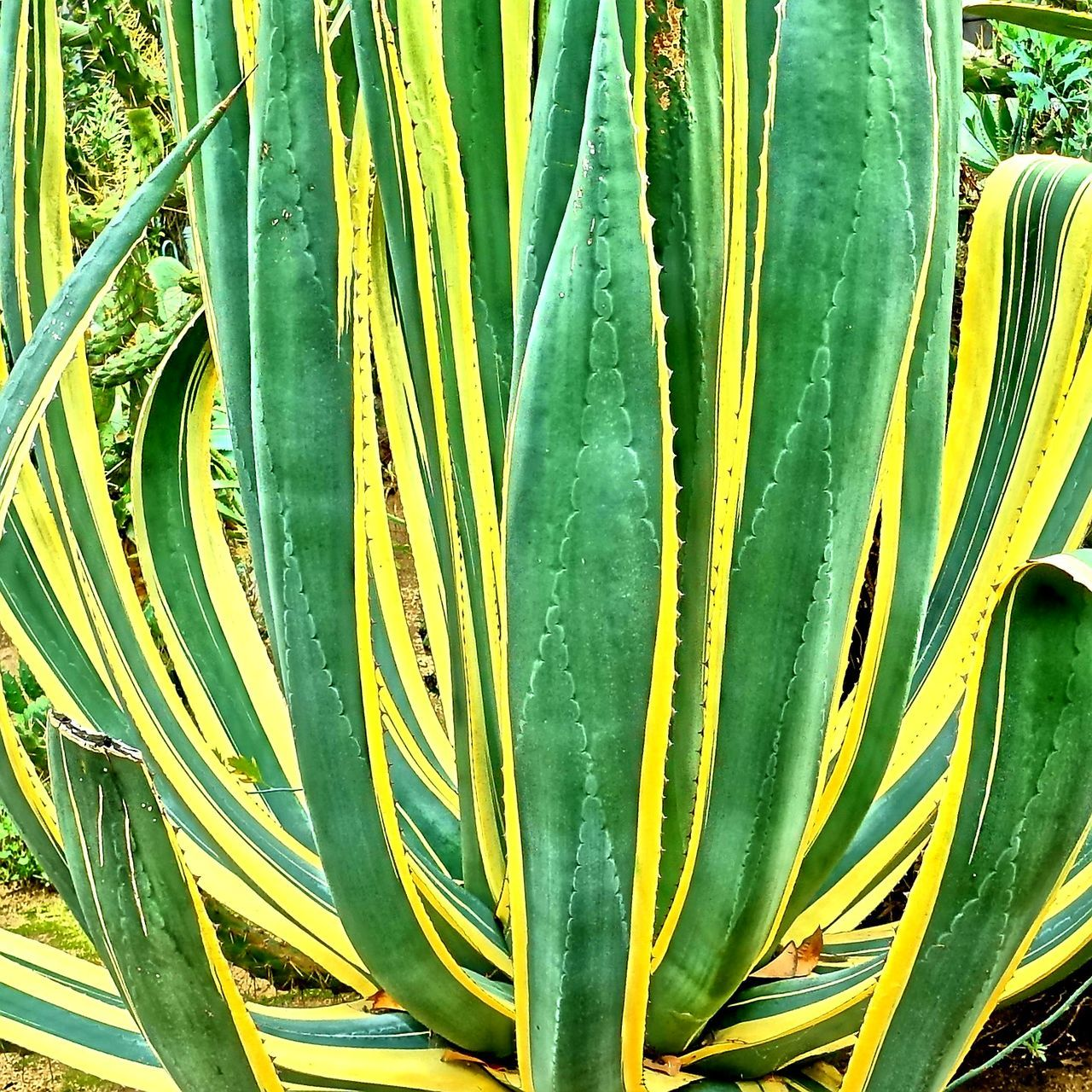 growth, green color, aloe vera plant, plant, aloe, nature, no people, cactus, beauty in nature, close-up, healthcare and medicine, outdoors, leaf, day