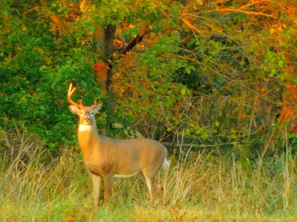 Animal Themes Mammal Animals In The Wild Deer Nature Field Grass Outdoors Day Green Color One Animal No People Animal Wildlife Standing Growth Tree Beauty In Nature Whitetail Deer Whitetail Buck Imperfection Is Beauty Imperfection Antlers One Antler