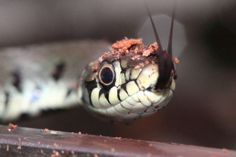 Animal Eye Animal Themes Animal Wildlife Animals In The Wild Close-up Day Makro No People One Animal Outdoors Ringelnatter Snake Tongueout Animals Pet Portraits