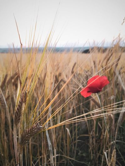 Pure Nature Poppy Poppy Flower Cereal Plants And Flowers Cereal Plant Cereal Field Kornfeld Agricultural Field Agriculture Plant Nature Sky Beauty In Nature Growth Land Day Field Landscape Flowering Plant Tranquil Scene Cereal Plant Scenics - Nature Red Tranquility