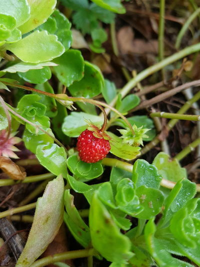 Leaf Green Color Fruit Growth Food Beauty In Nature Outdoors Close-up Nature Plant Freshness Healthy Eating wildstrawberries