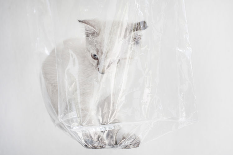 Cat in plastic. Box Capture The Moment Cat Cat In The Box Cat Lovers Cute Domestic Animals Eye EyeEm Best Shots EyeEm Gallery Fun Indoors  No People Pet Pet Photography  Pets Pets Corner Plastic Plastic Bag Serious Studio Shot Toy Transparent White White Background