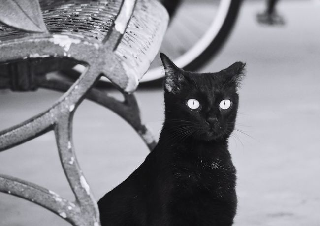 Domestic Animals Pets Domestic Cat Feline Focus On Foreground Looking At Camera Portrait Cat Close-up Cats Of EyeEm Felines Outdoors No People Blackandwhite Photography Black Cat Photography Black Cat Black And White Front View Looking At Camera