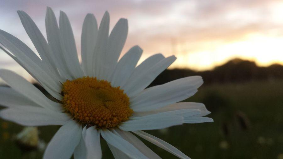 Beautiful daisy EyeEm Best Shots - Sunsets + Sunrise Sunrise N Sunsets Worldwide  Eyeemnature TheVilleAtEyeem