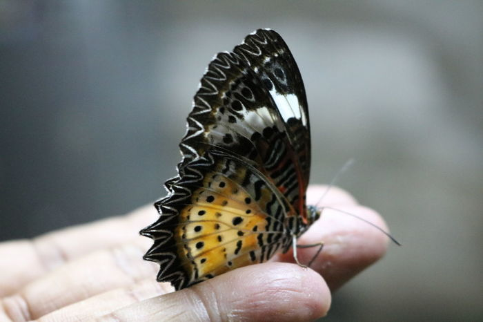 Animal Themes Animal Wildlife Animals In The Wild Butterfly Close-up Focus On Foreground Human Hand Insect Insects  Nature One Animal One Person