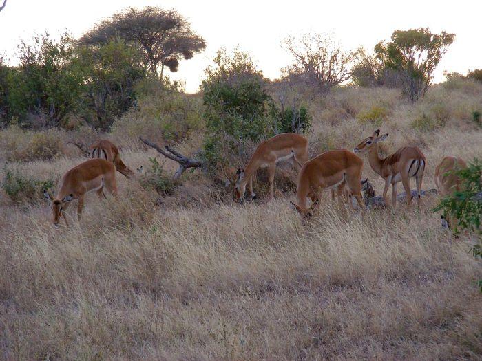 Female Impala (ewes) Impala Life Eye Em Nature Lover Landscape_photography Landscape #Nature #photography Nature Photography Eye4photography