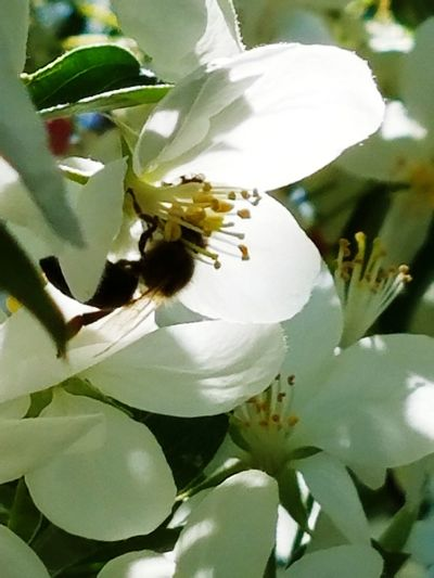 spring Bee Cherry Blossoms Flower Head Flower Springtime Leaf Petal Blossom Botany Close-up Plant In Bloom Plant Life Blooming Pollen