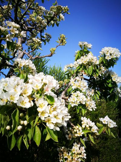 Growth White Color Flower Nature Blossom Blue Close-up Beauty In Nature Fragility Tree Low Angle View No People Branch Sky Outdoors Freshness Flower Head Day