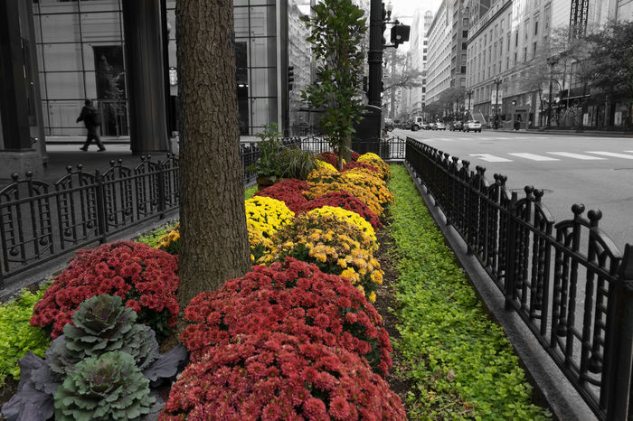 Splash of color in Chicago October day Chicago City Greenery Garden Flowers Low Angle View October Beauty In Nature Caged Greenery Color And B&w Day Flower Flower Head Fragility Freshness Greenery Metalwork Nature Outdoors Petal Red Flowers Street Scene Yellow Flowers