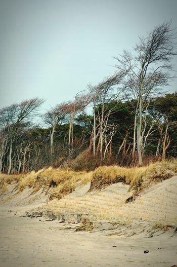 landscape of darss peninsula at baltic sea. shore with beech tree forest Sand Dunes Beach Darß Baltic Sea Mecklenburg-Vorpommern Ahrenshoop Weststrand
