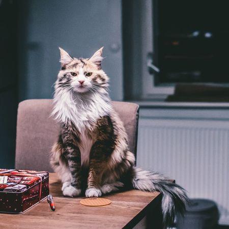 Frida Mainecoon Mammal One Animal Sitting Indoors  Feline Portrait Looking At Camera