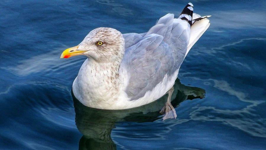 seagulĺ