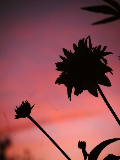 Flower at sunset Flower Nature Sky Sunset Day No People Flower Head