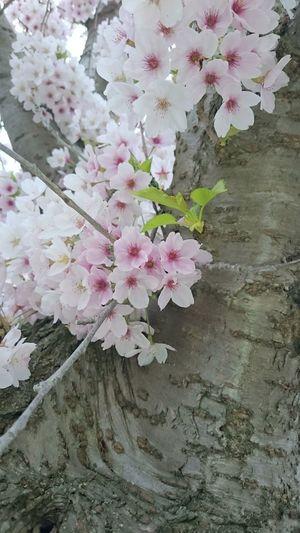 Cherry Blossoms Cherry Blossom Cherry Tree Cherryblossom Blossom Tree Kirschblüte Kirschblüten  Kirschblütenfest Kirschblütenbaum Kirschbluete White Blossoms