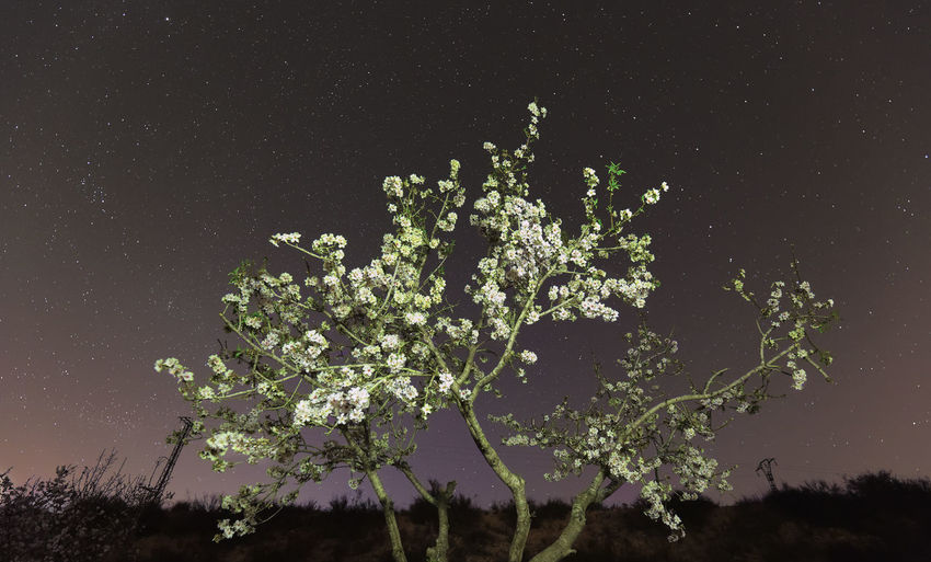 Nocturnal photograph of an almond tree in full bloom and the sky with stars, monforte del Cid, province of Alicante, Spain. Plant Growth Night Beauty In Nature Tree Nature Sky Flower Flowering Plant No People Tranquility Freshness Field Outdoors Scenics - Nature Fragility Low Angle View Vulnerability  Land Tranquil Scene Astronomy Flowers Night Photography SPAIN Alicante