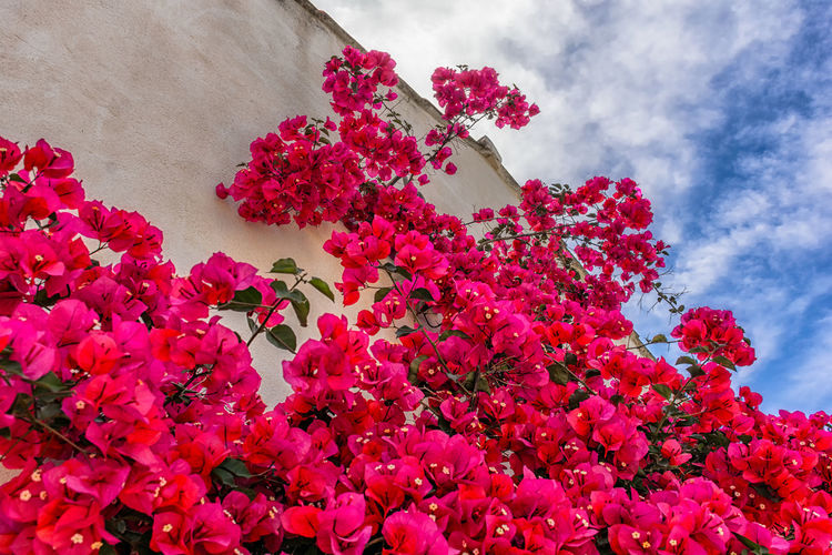 Bougainvillea season Beauty In Nature Blooming Boungainvillea Branch Close-up Cloud - Sky Day Flower Flower Head Fragility Freshness Growth Low Angle View Mediterranean  Nature No People Outdoors Petal Pink Color Plant Provence Sky South Of France Summer Tree