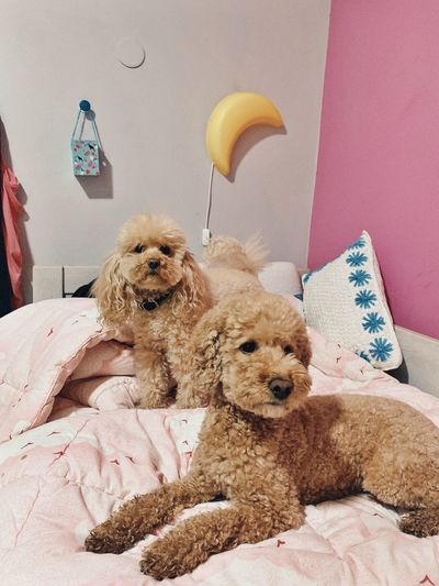 Toypoodle Poodle Mammal Pets Canine Dog One Animal Domestic Animals Domestic Toy Vertebrate Furniture Indoors  Home Interior No People Pillow Bed Relaxation Wall - Building Feature Small
