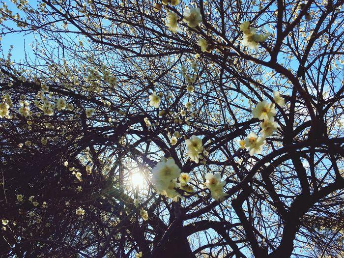 久々に東京大学へ。梅が綺麗に咲いていました(^-^) Plumblossom Plum Blossom Spring Springtime Spring Is Coming  Relaxing Hello World Hello World Tadda Community Tokyo The University Of Tokyo Tokyo Days
